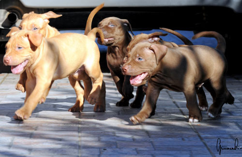 APBT U,K.C. nomi: Red Hummer, Sultan, Shotgun,Nyx Goddess of Night e Clyde   Pr:Luca Vezzi (Vezzi's Kennel)   Italy